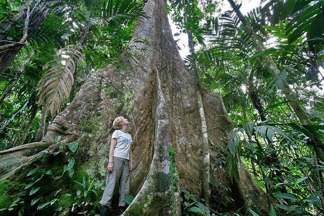 Mahagonibaum im regenwald  Selva Bananito Lodge - Costa Rica