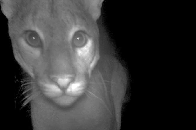 Selva Bananito Wildkatzen Kamerafalle