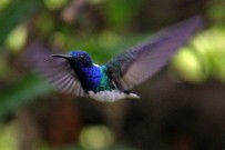 boca-tapada-kolibri