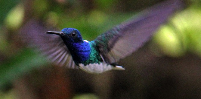 Boca Tapada - Kolibri