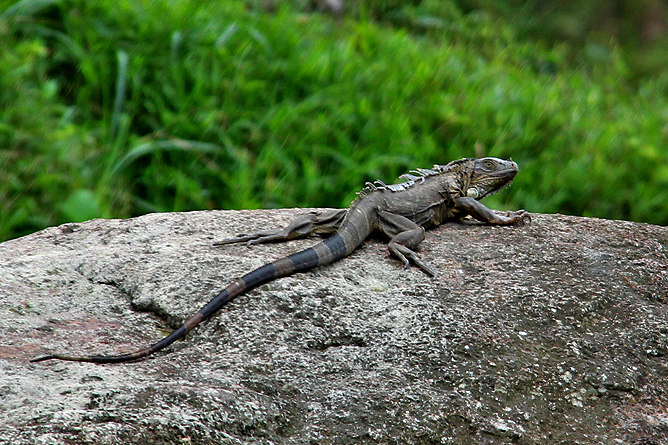 Boca Tapada – Leguan