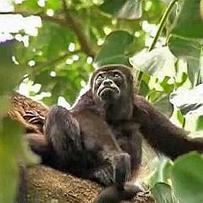Costa Rica Cahuita Nationalpark – Brüllaffe