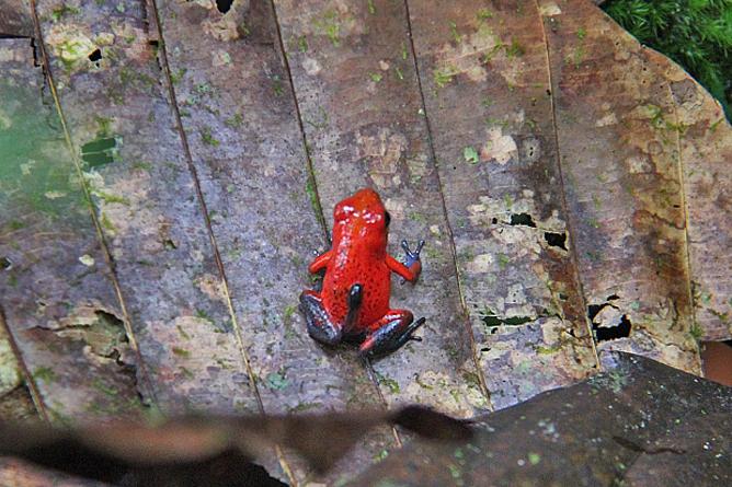Laguna del Lagarto Lodge – Frosch