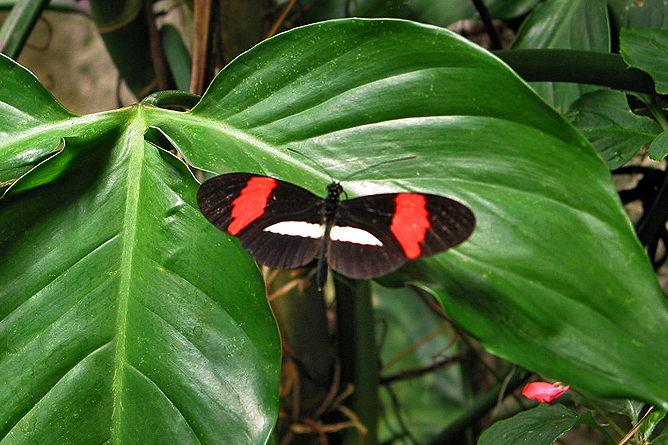 Monteverde – Fauna: Schmetterling