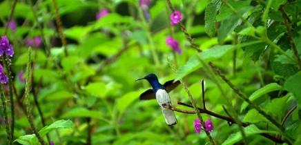 monteverde-kolibri