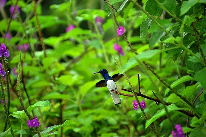 Monteverde – Kolibri