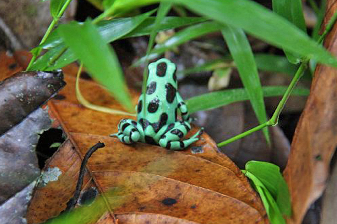 Selva Bananito Dschungelfrosch