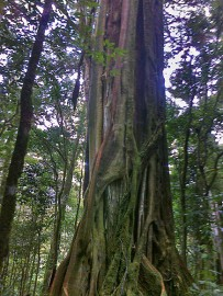 Albergue-Pozo-Verde-Natur-Würgefeige