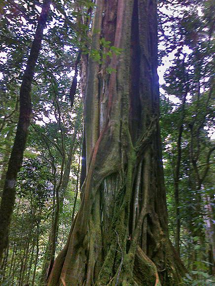 Albergue Pozo Verde – Natur: Würgefeige