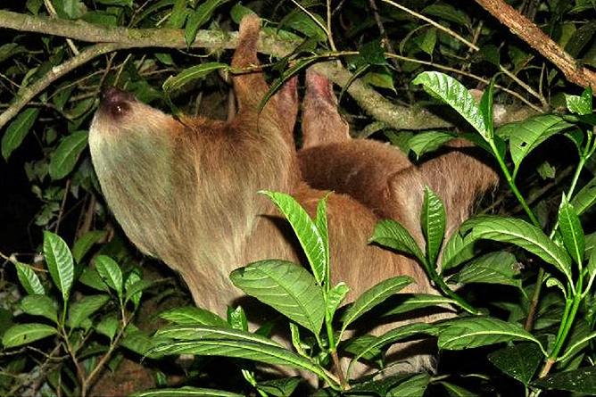 Monteverde Cloud Forest Lodge: Faultier