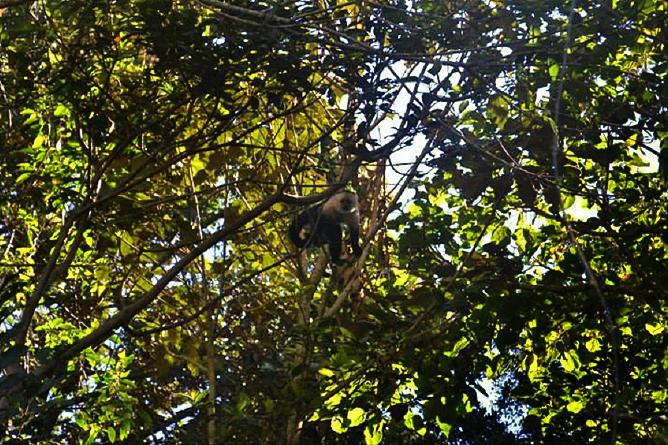 Monteverde Cloud Forest Lodge: Kapuzineräffchen
