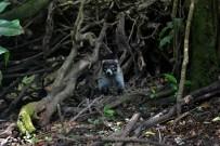 Nasenbär-Monteverde-Cloud-Forest-Lodge