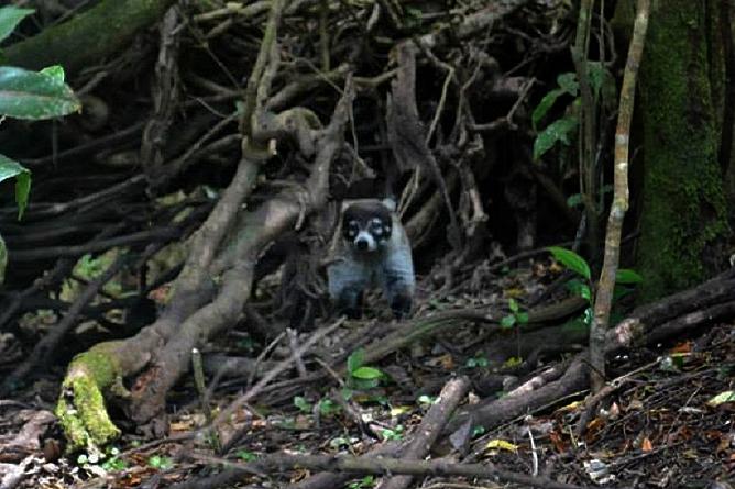 Monteverde Cloud Forest Lodge Nasenbär
