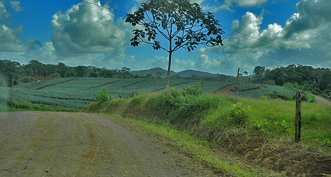 Pedacito de Cielo – Boca Tapada: Ananasfelder
