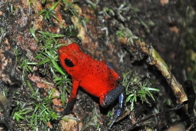 Pedacito de Cielo – Pfeilgift-Frosch