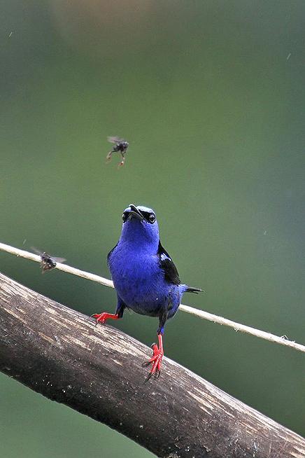 Pedacito de Cielo – Tangar-Vogel, Rotfußhonigsauger