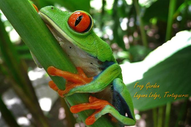 Laguna Lodge Tortuguero – Rotaugenfrosch im Garten