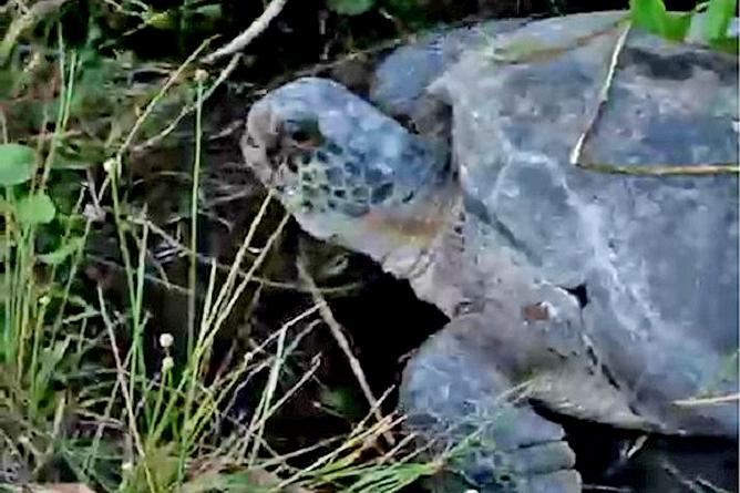 Tortuguero – Schildkröte