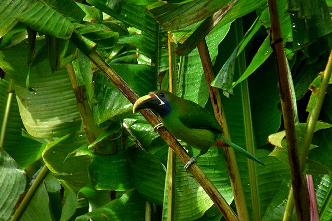 Monteverde Cloud Forest Lodge Vogel
