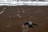 junge-Meeresschildkröte--in-Tortuguero