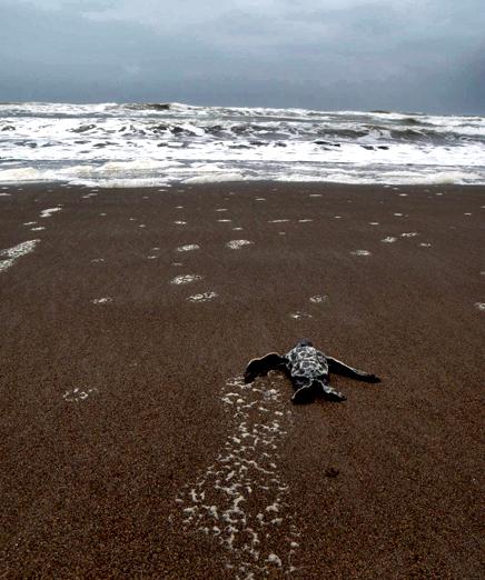Laguna Lodge Tortuguero – junge Meeresschildkröte