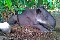 la-leona-lodge-tapir