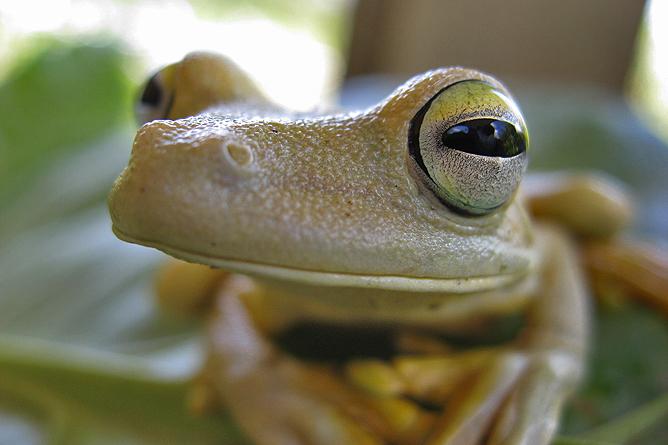 La Cusinga Ecolodge – Belllamamita-Frosch