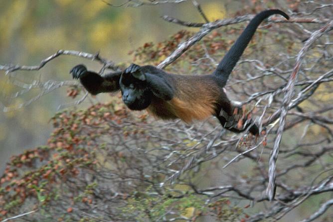 La Cusinga Ecolodge – springender Congo-Affe