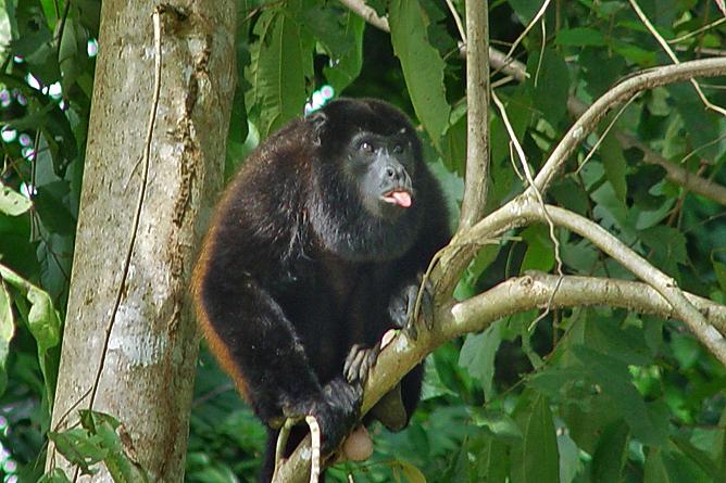 La Cusinga Ecolodge – Congo-Affe stecktt die Zunge raus