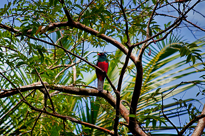 Turtle Beach Lodge – Fauna: Schieferschwanz-Trogon