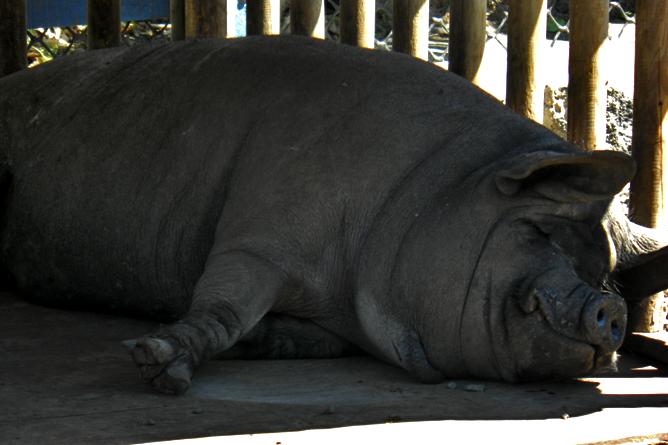 In Bio Parque Costa Rica – Schwein