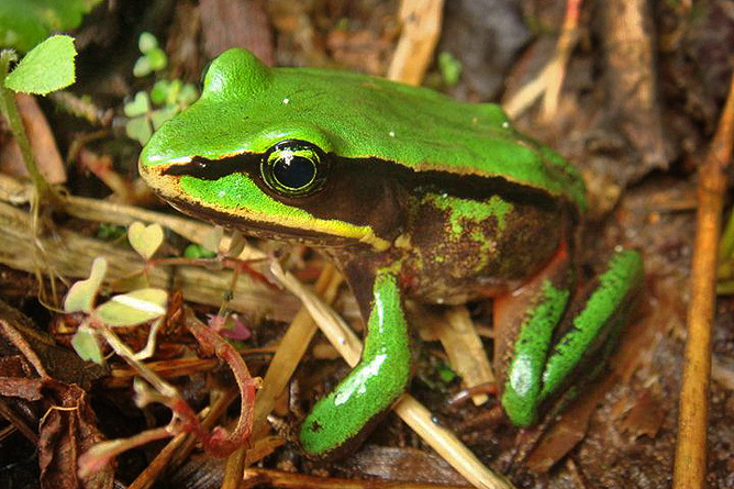 Albergue Pozo Verde – Natur: Lithobates vicaria