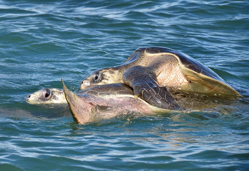Bahia Aventuras – Walbeobachtungs Tour: Olive Ridley Schildkröten