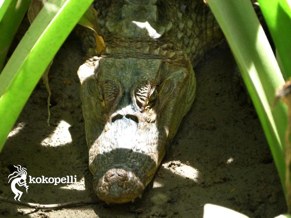 Kokopelli Bootstour Krokodil (Foto: Claudia Langguth)