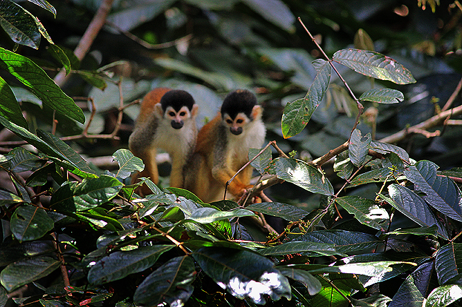 Sierpe Mangroventour – Affen