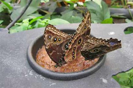 La Paz Wasserfallgarten – Schmetterlinge