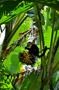 Nationalpark Manuel Antonio Costa Rica – Affe