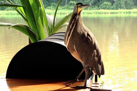 Caribbean-Paradise-Tiger-Heron-Bebe