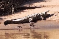 Caribbean-Paradise-Tortuguero-Kanal-Krokodil