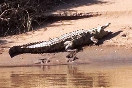 Caribbean Paradise – Tortuguero: Krokodil am Kanal