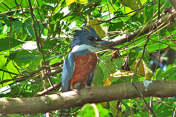 Natural Lodge Caño Negro – Kingfisher