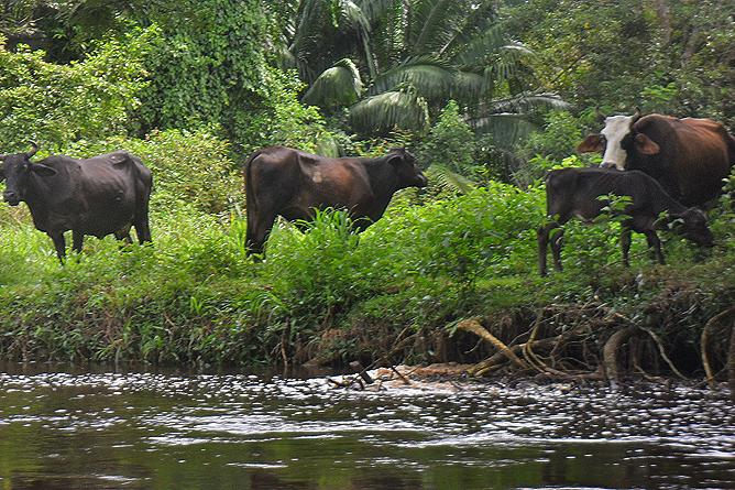 Natural Lodge Caño Negro – Kuhherden am Uferrand