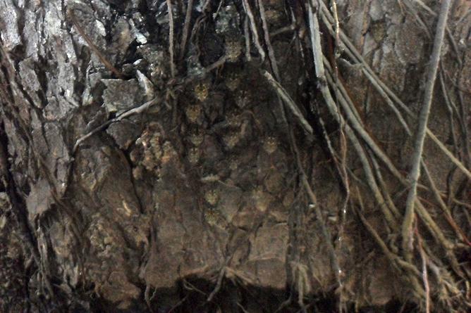 Natural Lodge Caño Negro – getarnte Fledermäuse