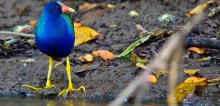 Natural-Lodge-Caño-Negro-Vogelwelt