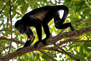 Affe in Nosara, Costa Rica