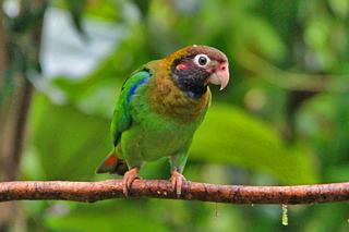 Papagei –  grüner Ara in Boca Tapada, Costa Rica