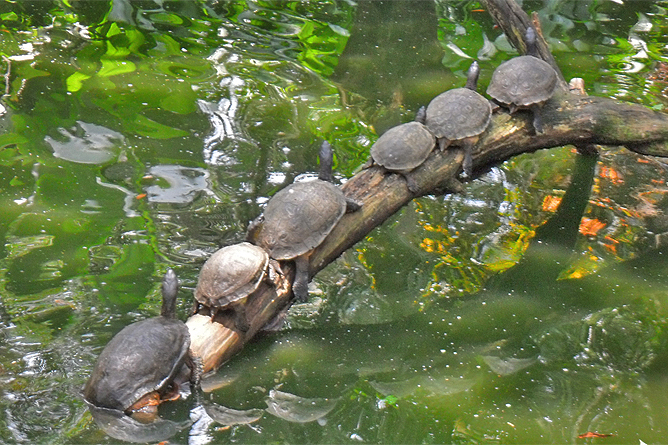 Costa Rica Familien-Rundreisen: Flussschildkröten
