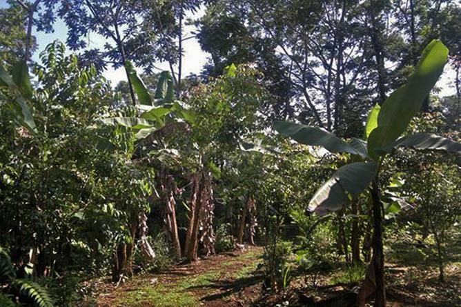 Finca Luna Nueva – Farm: Bananenstauden