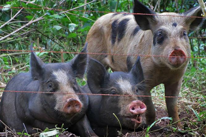 Finca Luna Nueva – Schweine