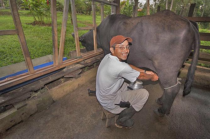 Finca Luna Nueva – Wasserbüffel Melken